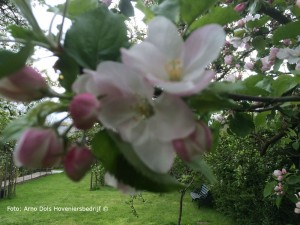Appelbloesemjpg